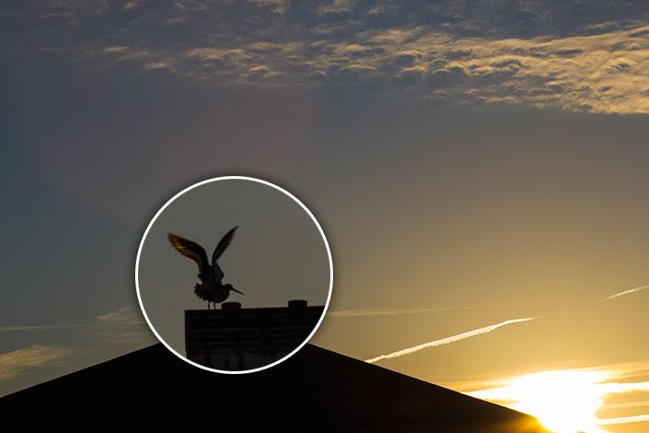 lente-scholeksterster-op-het-dak---zonsopkomst